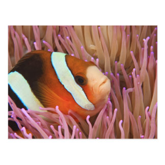 anemonefish, Scuba Diving at Tukang 2 Postcard