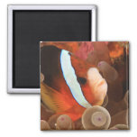 anemonefish, Scuba Diving at Tukang 3 Fridge Magnet
