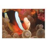 anemonefish, Scuba Diving at Tukang 3 Photo Art