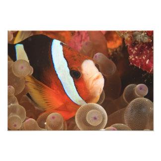 anemonefish, Scuba Diving at Tukang 3 Photograph