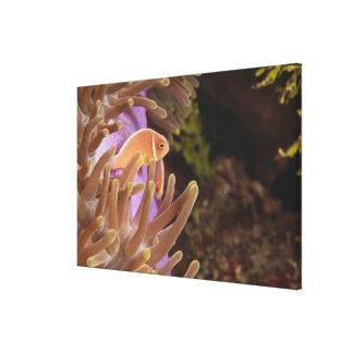 anemonefish, Scuba Diving at Tukang Canvas Print