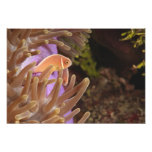 anemonefish, Scuba Diving at Tukang Photo Print