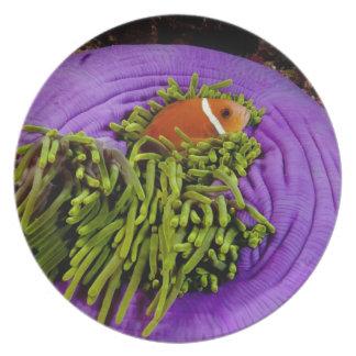 Anemonefish y anémona grande platos de comidas