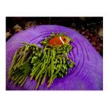 Anemonefish y anémona grande tarjeta postal