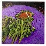 Anemonefish y anémona grande tejas