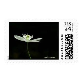 Anenome de madera - Wildflower Envio