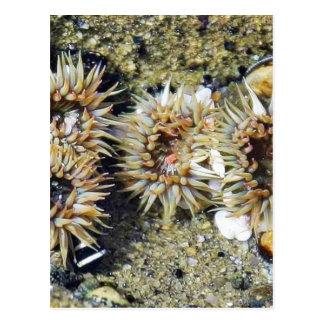 Anenomes Tidepools Sand Post Cards
