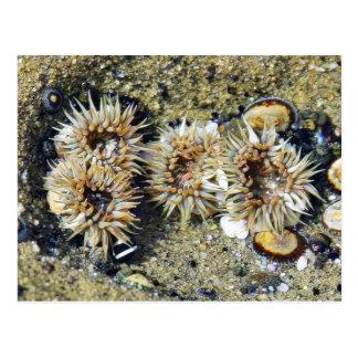 Anenomes Tidepools Sand Post Card