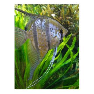 Angel Fish Postcard