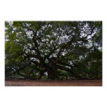 Angel Oak on John's Island, South Carolina Poster