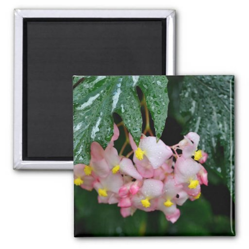 Angel-Wing Begonias 2 Inch Square Magnet