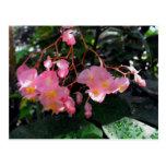 Angel Wing Begonias Postcard