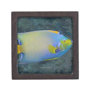 Angelfish de la reina cajas de recuerdo de calidad