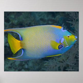 Angelfish de la reina poster