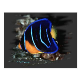 Angelfish juvenil de la reina postal