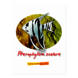 Angelfish Postcard