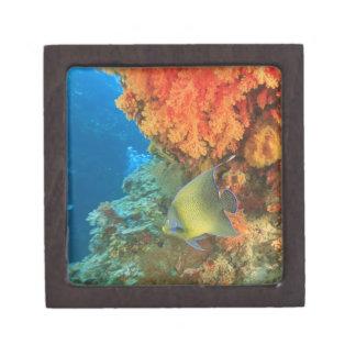 Angelfish que nada cerca del coral suave anaranjad caja de regalo de calidad
