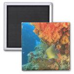 Angelfish que nada cerca del coral suave anaranjad imán cuadrado