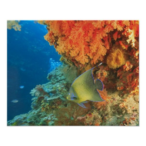 Angelfish que nada cerca del coral suave anaranjad póster