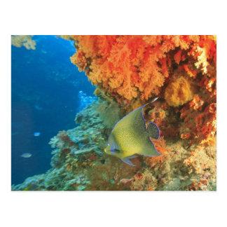 Angelfish que nada cerca del coral suave postal