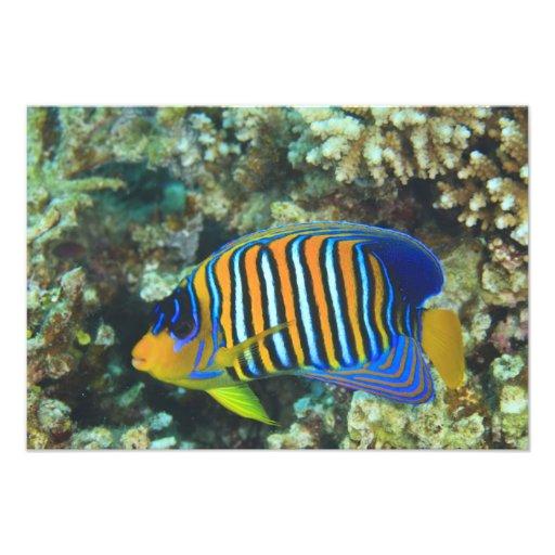 Angelfish real juvenil Pygoplites Impresiones Fotográficas