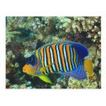 Angelfish real juvenil Pygoplites Tarjeta Postal
