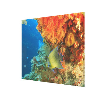 Angelfish swimming near orange soft coral, Bligh Canvas Print