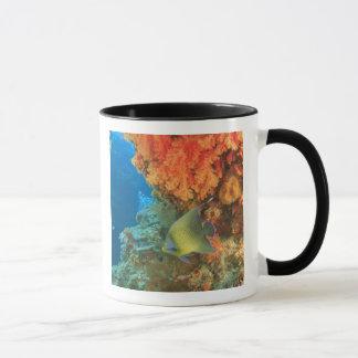 Angelfish swimming near orange soft coral, Bligh Mug