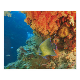 Angelfish swimming near orange soft coral, Bligh Poster