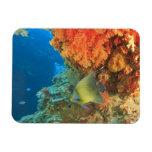 Angelfish swimming near orange soft coral, Bligh Rectangular Magnets