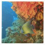 Angelfish swimming near orange soft coral, Bligh Large Square Tile