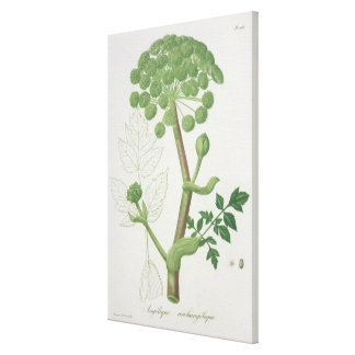 Angelica Archangelica from 'Phytographie Medicale' Canvas Print