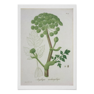Angelica Archangelica from 'Phytographie Medicale' Print