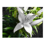 Angled Black and White Lily Postcards