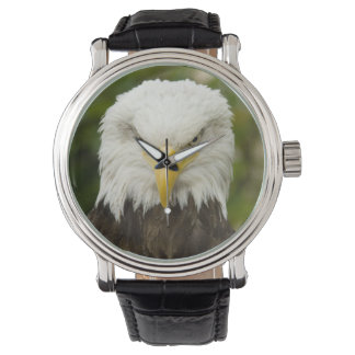 Angry Bald Eagle watch