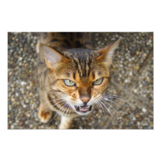 Angry Bengal Cat Photograph
