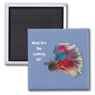 Angry Betta Fighting Fish What Are You Looking At? Magnet