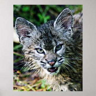 Angry Bobcat Kitten Poster