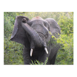 Angry Elephant Postcard