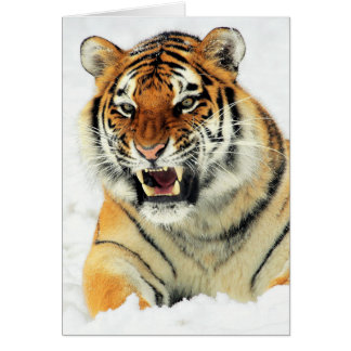 Angry tiger lying in snow card
