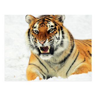 Angry tiger lying in snow postcard