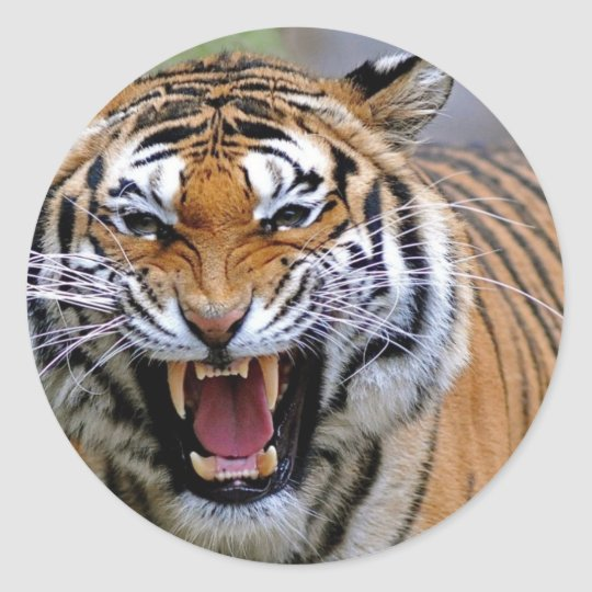 Angry Tiger Stickers