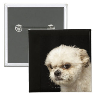 Angry white Shih Tzu with brown eyes Button