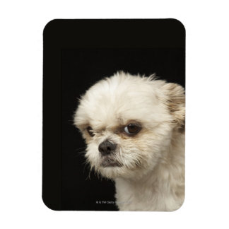 Angry white Shih Tzu with brown eyes Magnet