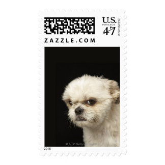 Angry white Shih Tzu with brown eyes Postage