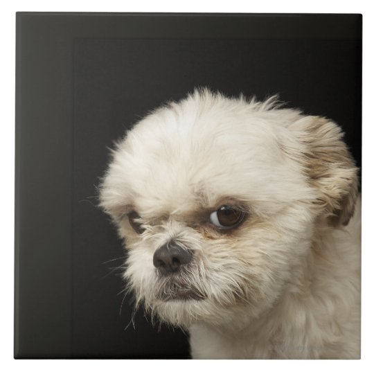 Angry White Shih Tzu With Brown Eyes Tile Zazzle Com