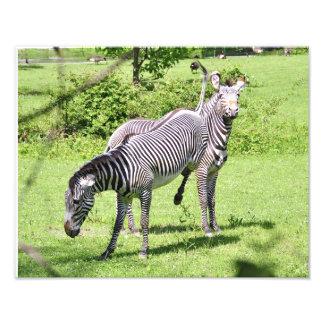 Angry Zebra Photographic Print