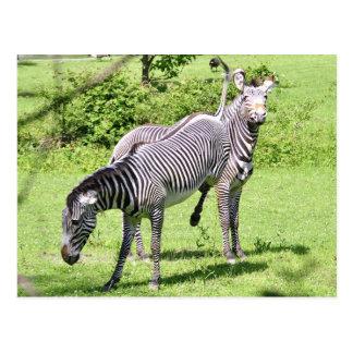 Angry Zebra Postcard