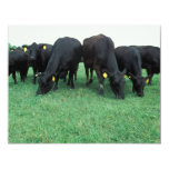 Angus cattle card