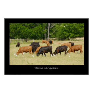 Angus Cattle Poster Print